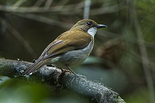 Thyolo alethe Species of bird