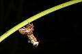 Cicada emerging from nymph skin.JPG