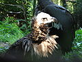 Cinereous.vulture-head.jpg