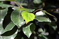 Cinnamomum camphora 3zz.jpg