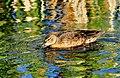 Cinnamon Teal Colorful Water Seedskadee NWR 01 (14924510450).jpg