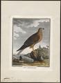 Circus cyaneus - 1700-1880 - Print - Iconographia Zoologica - Special Collections University of Amsterdam - UBA01 IZ18300211.tif