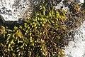 Cirriphyllum crassinervium (a, 143924-475443) 6284.JPG