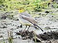 Citrine Wagtail female, Lynemouth Flash, Northumberland 2.jpg