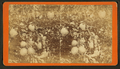 Citrus. (Orange tree with fruit.), by Havens, O. Pierre, 1838-1912.png