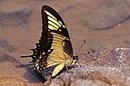 Citrus (Androgeus) swallowtail (Heraclides androgeus).jpg
