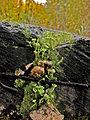 Cladonia fimbriata w.jpg