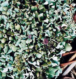 Lecanoromycetes - Cladonia sobolescens