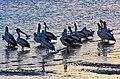 Clontarf Hayes Inlet Pelicans at dusk-01 (6111957082).jpg