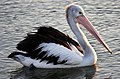 Clontarf Pelican waiting for food 01and (3919216074).jpg