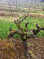 Close up of goblet trained melon de bourgogne vines.jpg