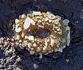Closed sea anemone (12275).jpg