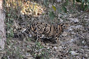 Clouded leopard - Clouded leopard at Aizawl, Mizoram, India