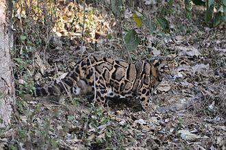 Clouded leopard - Clouded leopard at Aizawl, Mizoram, India