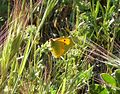 Clouded Yellow. Colias crocea - Flickr - gailhampshire (3).jpg