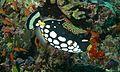 Clown Triggerfish (Balistoides conspicillum) (6093641185).jpg