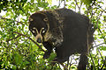 Coati Climbing in the Branches (14316379184).jpg
