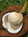 Cocos nucifera - Drup (Arecaceae) 02.jpg