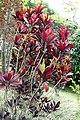 Codiaeum variegatum 41zz.jpg