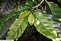 Coffea arabica 30zz.jpg