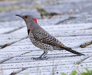 Female Yellow-shafted Northern flicker (Colaptes auratus auratus), Owen Conservation Park, Madison, Wisconsin