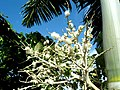 Colardeau Hill - Palm Tree in Flowers - panoramio.jpg