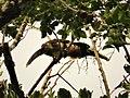 Collared Aracari Pteroglossus torquatus (29325530468).jpg