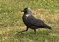 Coloeus monedula - Western Jackdaw 01.jpg