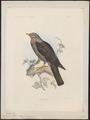 Columba polleni - 1868 - Print - Iconographia Zoologica - Special Collections University of Amsterdam - UBA01 IZ15600189.tif