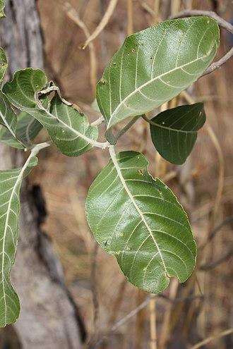 Combretum glutinosum - Leaves of Combretum glutinosum, Pama Reserve, Burkina Faso