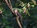 Common Hawk Cuckoo (On Bangal ).jpg