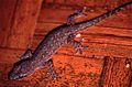 Common House Gecko (Hemidactylus frenatus) (7911782596).jpg