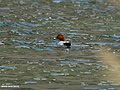 Common Pochard (Aythya ferina) (22733414170).jpg