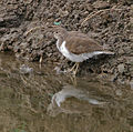 Common Sandpiper (Actitis hypoleucos) near Hodal I Picture 2156.jpg