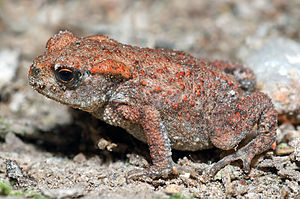 Common Toad - young (aka).jpg