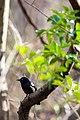Common grackle (32897353376).jpg