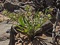 Common peppercress, Lepidium densiflorum (15773773643).jpg