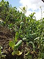 Conringia orientalis sl25.jpg