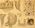 Contribution à l'étude des systèmes cutané, musculaire et nerveux de l'appareil tentaculaire des Céphalopodes (1908) (20675851022).jpg