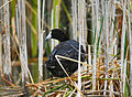 Coot to nest.jpg