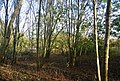 Coppiced trees near Battle - geograph.org.uk - 1576596.jpg