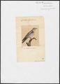 Coracias garrula - 1700-1880 - Print - Iconographia Zoologica - Special Collections University of Amsterdam - UBA01 IZ16700223.tif