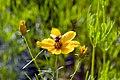 Coreopsis verticillata 0zz.jpg