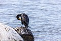 Cormorant (30016087938).jpg