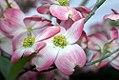 Cornus florida Cherokee Brave 0zz.jpg