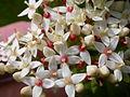 Cornus sericea (5257605557).jpg