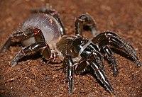 Corsican Trapdoor Spider (Cteniza sauvagesi) (16586173944).jpg