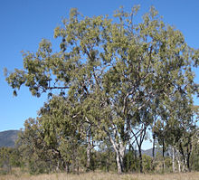 Corymbia dallachiana tree.jpg