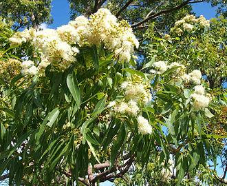 Corymbia intermedia - Flowers and foliage.