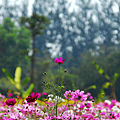 Cosmos flowers in Thailand 10.jpg